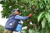 「台風が来る前に」と桃の熟れ具合を見ながら収穫を急ぐ熊谷さん=26日午後4時半、飯田市龍江