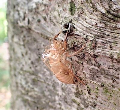 採取したエゾハルゼミの抜け殻(研究グループの湯本景将さん撮影)