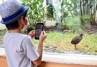 クイナの森でヤンバルクイナの「クー太」を観察する子ども=27日午前、沖縄県国頭村