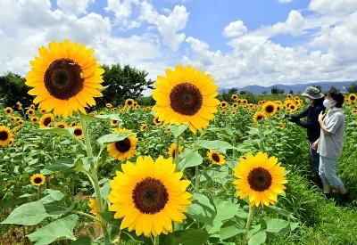 夏空の下で大輪の花を咲かせたヒマワリ=29日午後0時32分、長野市穂保