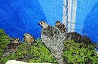 茶臼山動物園の飼育舎に入った母鳥(手前)とひな3羽=3日、長野市(環境省提供)