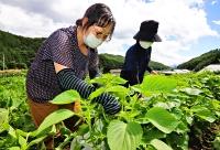 エゴマの葉を摘み取る人たち=辰野町