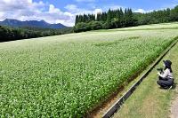 青空の下で白い花が一面に咲く、長野市戸隠豊岡のソバ畑