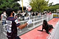 長野市城山動物園で、カリフォルニアアシカとパス交換するAC長野パルセイロの選手
