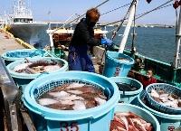 福島県相馬市の松川浦漁港に水揚げされた魚=4月12日