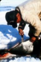 アザラシを解体するイヌイット。22歳の頃のニコルが、北極の野外調査の際に撮影した