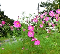 雨の中、コスモス街道沿いで鮮やかに咲くコスモス=3日