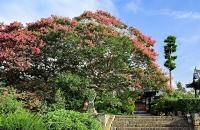 信広寺で見頃を迎えているサルスベリの花