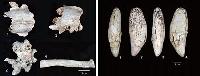 群馬県上野村(左)と埼玉県秩父市で見つかったヒグマの化石(山梨大の瀬川高弘講師提供)