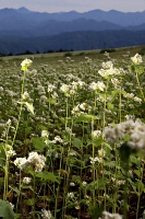 下條村睦沢中原地区のソバの花。純白の小さな花びらが咲き誇っている