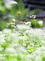 白い花の周りをチョウなどが舞うソバ畑
