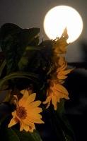 中秋の名月に照らし出された宇宙帰りのヒマワリ=21日夜、福島県大熊町