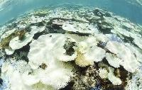 高い海水温により大規模な白化現象が起きた国内最大のサンゴ礁「石西礁湖」=2016年9月、沖縄県竹富島沖(魚眼レンズ使用)